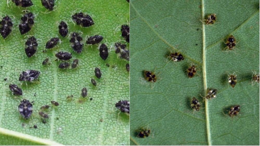 Capitala și împrejurimile, invadate de o specie relativ nouă de insecte. Cum scapi de disconfortul produs de aceasta