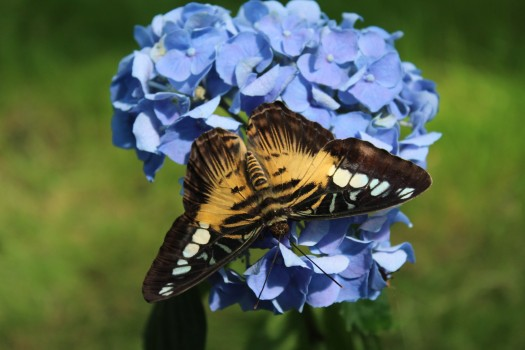 Fluturii exotici aterizează în oraș, la Muzeul Antipa