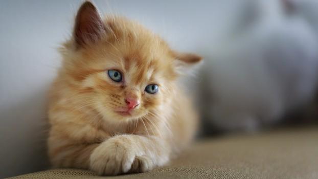 SofistiCAT 2018: Peste 250 de pisici din toată lumea vor fi admirate la Romexpo